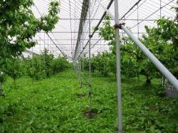 天野農園のさくらんぼ畑
