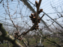 さくらんぼの芽