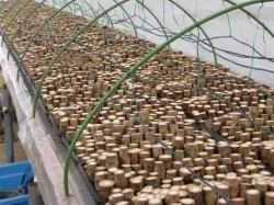 タラの芽 ふかし栽培